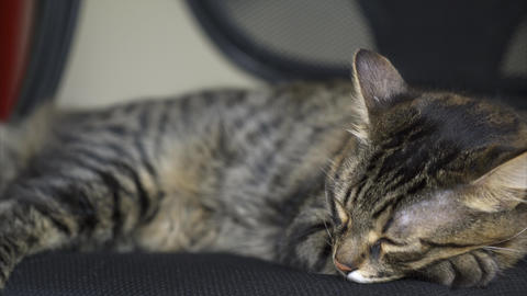 Beautiful Tabby Cat sleeps on the chair and run somewhere at the end Footage