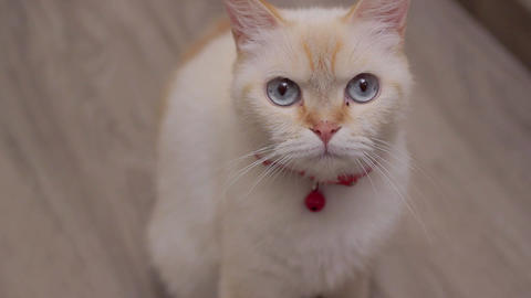 A female cat looks at the camera, red point siamese Footage