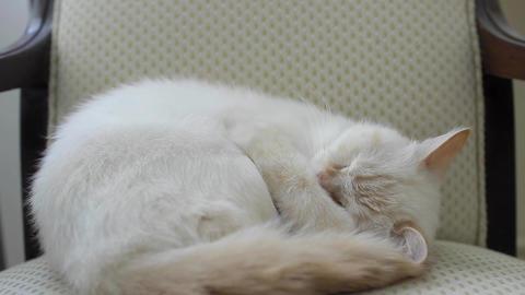 A female cat sleeps on chair - Tilt Footage