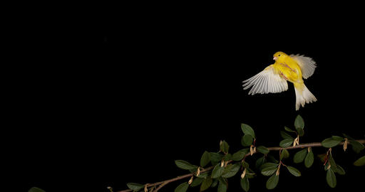 Yellow Canary, serinus canaria, Adult in flight against Black Background, Slow Motion 4K Footage