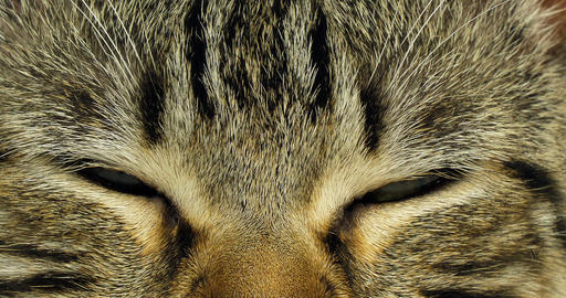 Brown Tabby Domestic Cat, Portrait of A Pussy On White Background, Close up of Eyes, Slow Motion 4K Footage