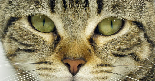 Brown Tabby Domestic Cat, Portrait of A Pussy On White Background, Close-up of Eyes and Mustache, Live Action