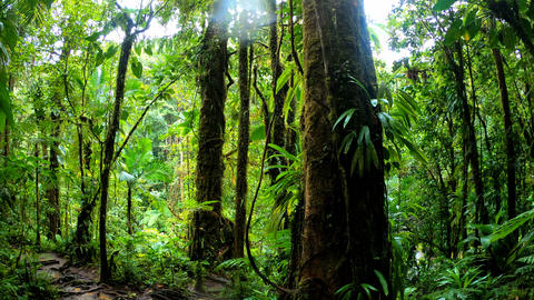 Tree trunks and thick vegetation in Basse Terre jungle in Guadeloupe, Caribbean Live Action