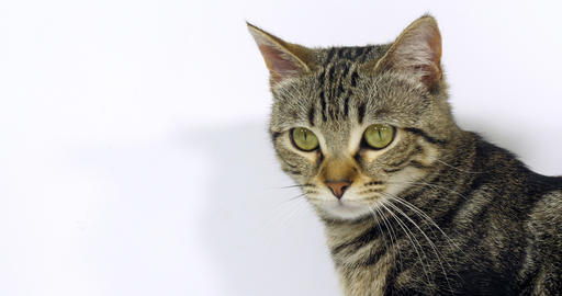 Brown Tabby Domestic Cat, Portrait of A Pussy On White Background, Slow Motion 4K Footage