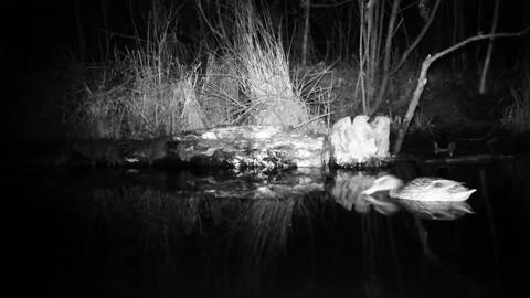 Mallard Ducks (Anas Platyrhynchos) Eats in a Pond by Night Footage