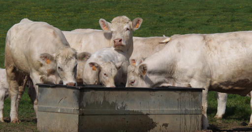 Charolais Cattle, a French Breed, Herd at the trough, Normandy in France, Slow motion 4K Footage