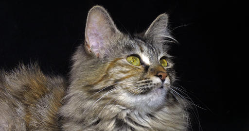 Tortie Maine Coon Domestic Cat, Portrait of Female against Black Background, Normandy in France, Footage