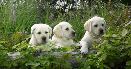 Yellow Labrador Retriever, Puppies in the Vegetation, Normandy in France, Slow Motion 4K Footage