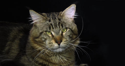 Brown Blotched Tabby Maine Coon Domestic Cat, Portrait of Male against Black Background, Normandy in Live Action