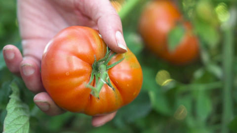 Farmer hand harvesting Ripe tomato fruit on the plant. Harvest of tomatoes in a Live Action