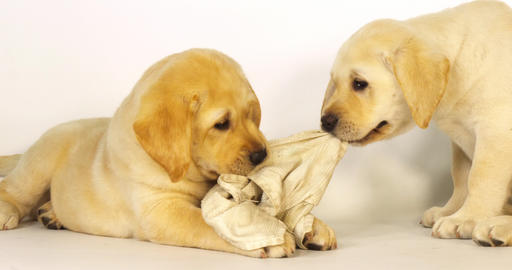 Yellow Labrador Retriever, Puppies Playing with a Dish Towel on White Background, Normandy, Slow Live Action