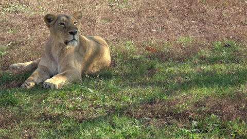 Lioness yawns while resting in the grass Live Action