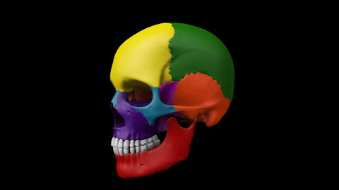 Multi color human skull turntable showing different parts for presentation Live Action
