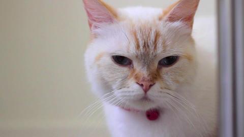 Sleepy female cat - she has got blue eyes Footage