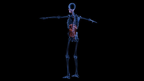 Full body medical footage with x-ray view showing skeletal and digestive system ライブ動画