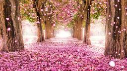 Romantic cherry blossoms falling Animation
