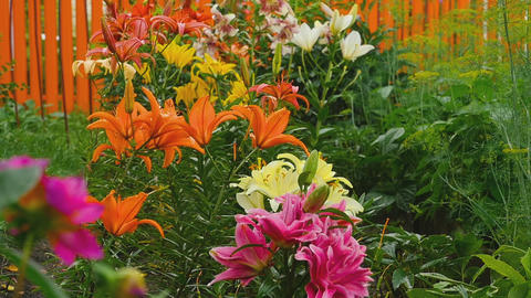 Colorful lilies under the rain Footage