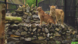 The marriage between the couple cougars Footage