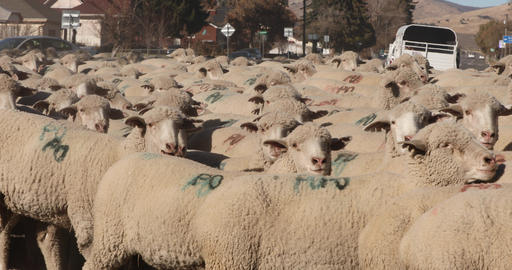 Sheep herd in rural town on road 4K Live Action
