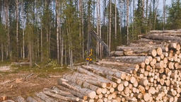 Timber Cutting. Felling Of Trees