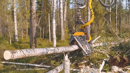 Timber Cutting. Felling Of Trees 1