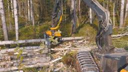 Timber Cutting. Felling Of Trees 2
