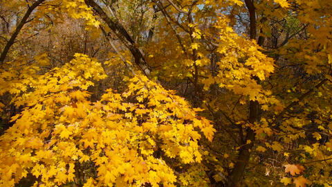 Lush yellow foliage close-up on an autumn tree Live Action