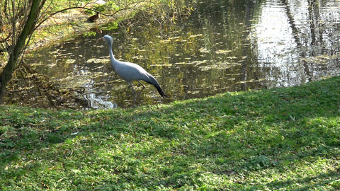 A heron walking on the lake shore on a sunny day in a park Live Action