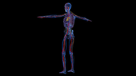 Full body medical footage with x-ray view skeletal,circulatory or nervous system Footage