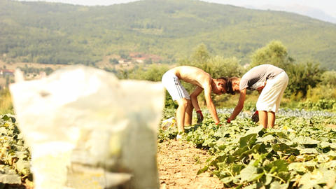 harvesting bag in front of harvesting helper picking up the cucumbers Footage