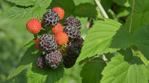 Organic blackberries Footage