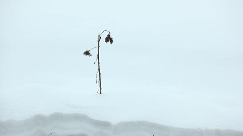 Thin dry stem stick out snow, sway on winter breeze. Closeup dead plant Footage