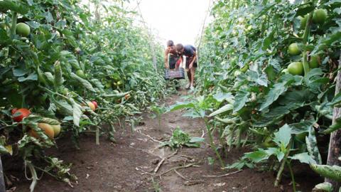 harvest helper picking up fresh tomatoes at plantation Footage