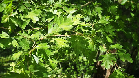 Tree Leaves Closeup Footage