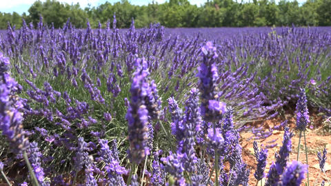 Lavender Flowers Swaying in The Wind Live Action