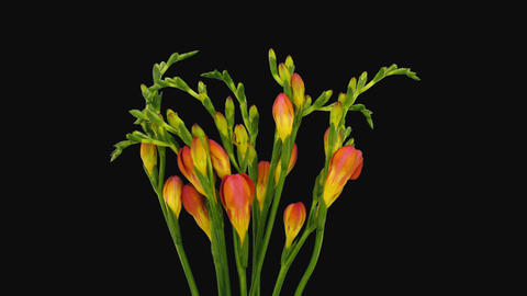 Time-lapse of opening orange freesia flower buds with ALPHA channel Footage