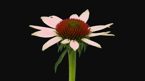 Time-lapse of opening Echinacea flower in RGB + ALPHA matte format Footage