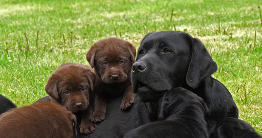 Black Labrador Retriever Bitch and Black and Brown Puppies on the Lawn, Yawning, Normandy, 4K Slow Live Action