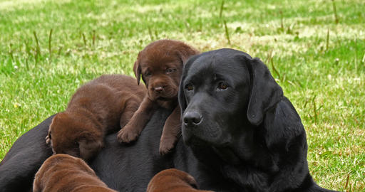 Black Labrador Retriever Bitch and Black and Brown Puppies on the Lawn, Normandy, 4K Slow Motion Footage