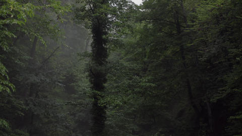 Green trees in wet forest after summer rain. Vibrant trees twined with climbing plants in rainy Archivo