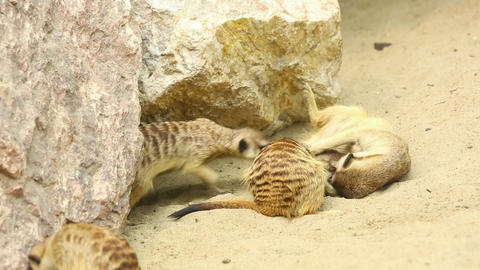 Playing meerkats Stock Video Footage