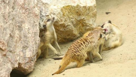 Playing meerkats Stock Video Footage