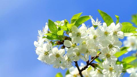 Cherry blossom Stock Video Footage