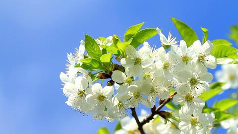 Cherry blossom Footage
