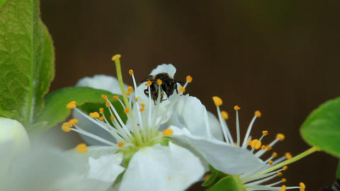 Bee on a spring blossom Stock Video Footage