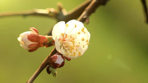 apricot flower in the sun Footage