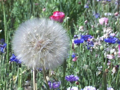 Dandelions and wildflowers sway in a field Stock Video Footage