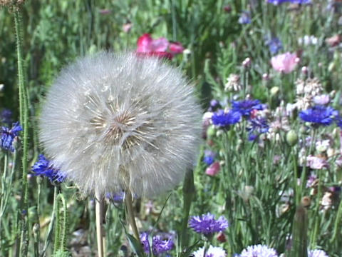Dandelions and wildflowers sway in a field Footage
