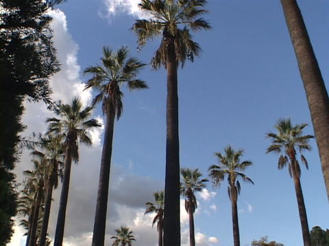 Palm trees rise toward a blue sky in Southern California Footage