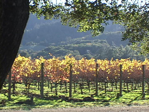 A vineyard grows in Napa Valley, California Footage